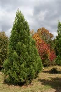 Virginia Evergreen Trees