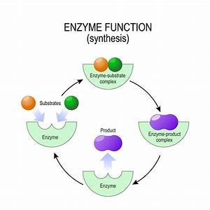 How Digestive Enzymes Work