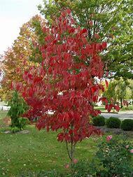Dogwood Tree Fall Color