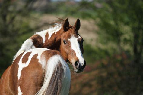 Gallen Beim Pferd Homöopathisch Behandeln