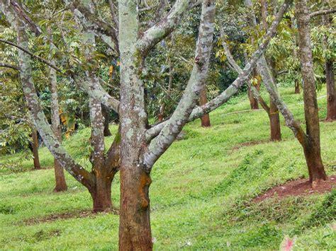 Gambar Bibit Durian Montong Kebun Jawara Jateng Bisa