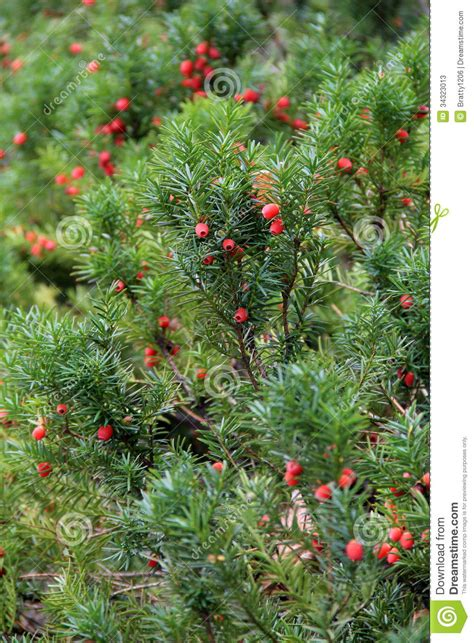 bright bush for landscaping bright red berries on green shrub stock photos image 34323013