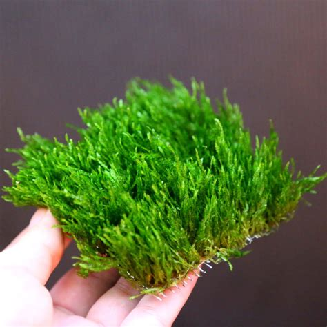 moss pad live aquarium plants water low light kh for shrimp ebay