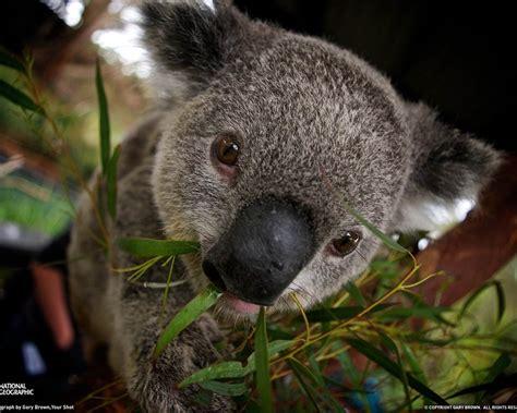 koala australian animals wallpaper  fanpop