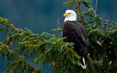 Eagle Bird Birds Wallpapers Bald Eagles Majestic