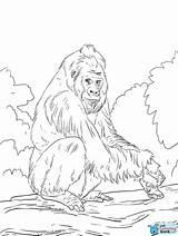 Gorilla Coloring Colorear Western Dibujos Lowland Drawing Printable Gorila Colorare Disegni Gorille Disegno Gorilles Animaux Pianura Gorillas Dibujo Occidentale Coloriages sketch template