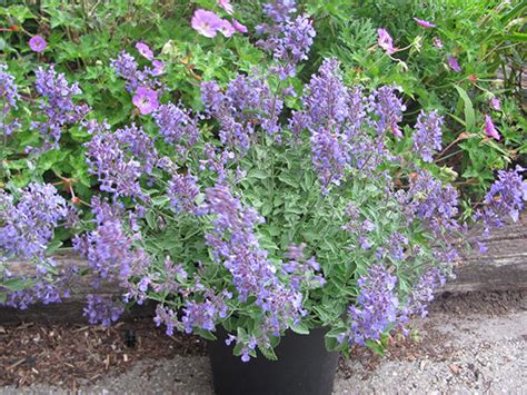 buy catmint plants nepeta 215 faassenii junior walker potentially to replace nepeta six hills giant plants that