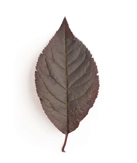 thundercloud purple leaf plum thundercloud purple leaf plum