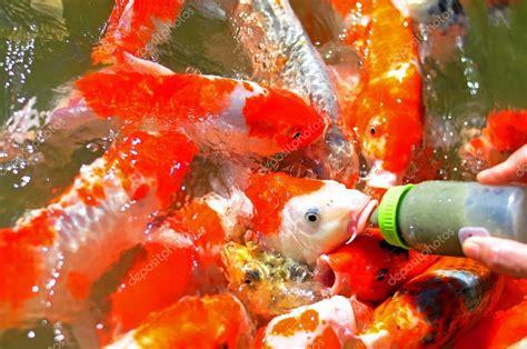 alimentacion de los peces tropicales