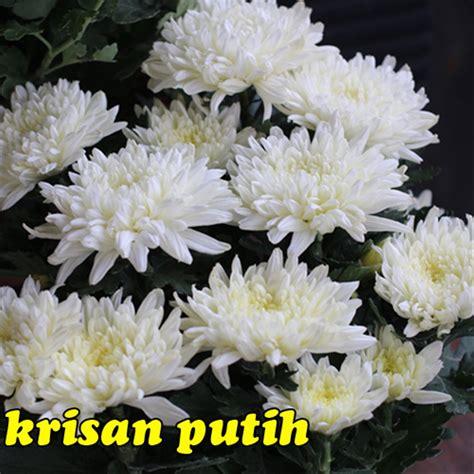 menakjubkan  gambar bunga seruni putih gambar bunga hd