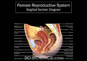 Human Female Anatomy With Major Organs | Male Models Picture