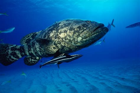 fish grouper ocean sea hd background animal preview fishes wallpapers