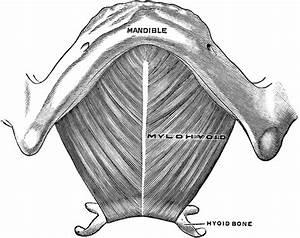 Mylohyoid Muscle