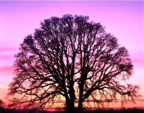 south carolina s oak trees