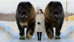 BIGGEST Dog Breeds In The World! - YouTube