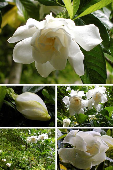 gardenia   debs garden debs garden blog