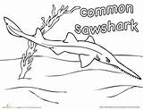Coloring Sawshark Shark Sharks Education Common Worksheet Week Pages Drawing Boys Colouring Uložene Sea Under sketch template