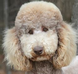 explaining poodle colors stunningly sweet standards llc