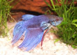 liste de poissons d aquarium d eau douce