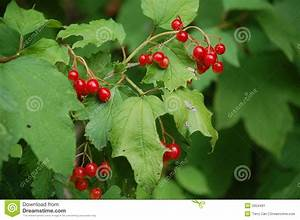Busch Mit Roten Beeren : rote beeren auf busch stockbild bild 2954491 ~ Markanthonyermac.com Haus und Dekorationen