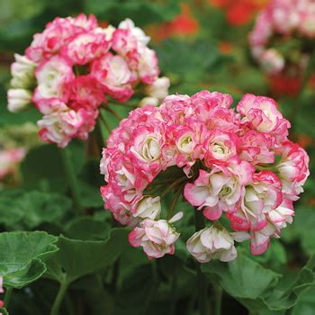 heirloom seeds geranium 39 appleblossom rosebud 39 pelargonium x hortorum