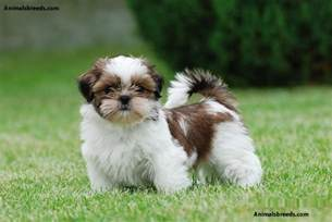 Do Mini Cockapoos Shed by Shih Tzu Pictures Puppies Information Temperament