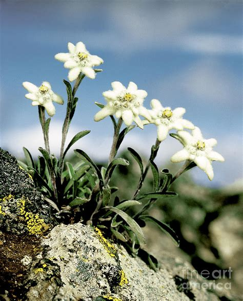 edelweiss photograph by hermann eisenbeiss