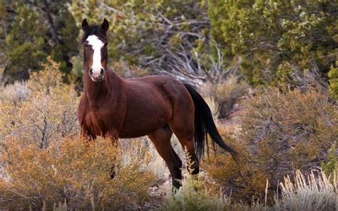 horse mustang horses wild hd nature desktop mustangs america brought spanish originated wallpapers13 1920 bing 1200 facts