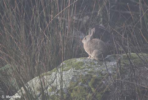 retour dans le royaume du lynx pardelle balades naturalistes