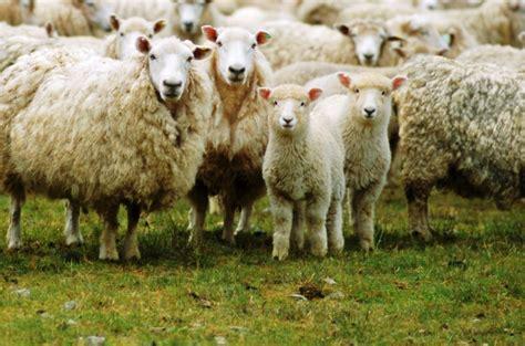 sheep   manure vegetable garden garden ftempo