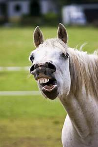 Equine Wolf Teeth  U2013 The Horse