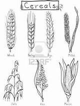 Barley Cereals Grains Oat Maiz Yuma Cebada Getreide Millets Corn Designlooter Webstockreview sketch template