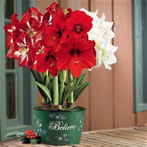 forcing amaryllis bulbs for home depot and