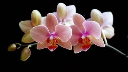 Orchid Orchids Shenzhen Wallpapers Desktop Flowers Px