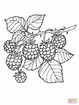 Blackberry Coloring Branch Pages Drawing Printable Blackberries Supercoloring Berries Fruit Rama Dessin Silhouettes Pattern Colorear Para sketch template