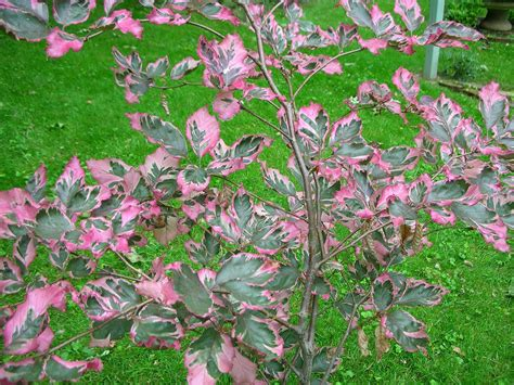tricolor beech tri color beech tree what a beauty