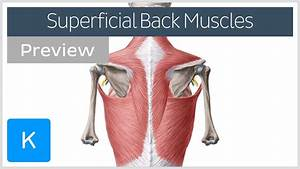 Superficial Back Muscles  Preview