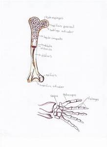 Anatomia Cibi3002  Lab Iii  Los Huesos Del Cuerpo Humano
