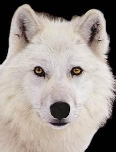 Bébé Loup Blanc : gifs et im loups page 2 ~ Farleysfitness.com Idées de Décoration