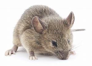 Comment Attraper Une Souris : comment se d barrasser des souris dites adieu ces rongeurs ~ Dailycaller-alerts.com Idées de Décoration