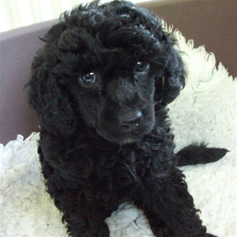 poodle breed guide learn   poodle
