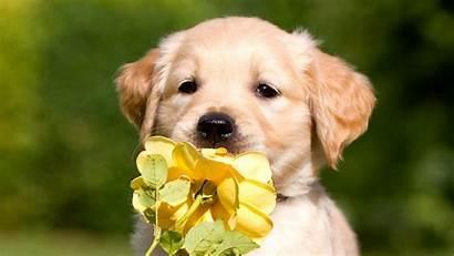 Puppy Retriever Labrador Petals Wallpapers Animals 4k