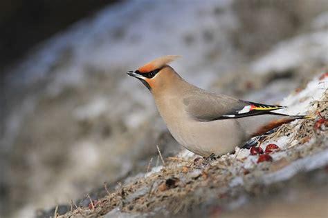 Cornell Great Backyard Bird Count by Great Backyard Bird Count 2019 Take Someone Birding Ebird
