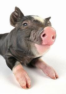 337 best images about Animals - Piggies on Pinterest ...