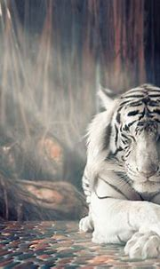 White Tiger Dreamy, HD Animals, 4k Wallpapers, Images ...