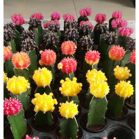 ยิมโนหัวสี ชมพู แดง เหลือง ส้ม ดำอมแดง(เล็กๆ) เลือกได้เลย ...