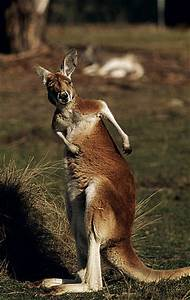 Red Kangaroo | WWF