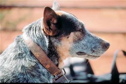 Farm Dog Animal Animals Pet Dogs Rabies