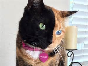 venus the two faced cat meet venus the two faced cat and sensation the
