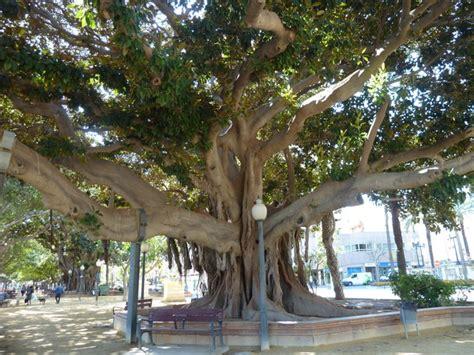 gummibaum im freien bild 3 aus beitrag die gummib 228 ume auf der promenade in alicante